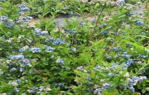 江西抚州5公分南陆蓝莓苗南陆蓝莓苗怎样购买