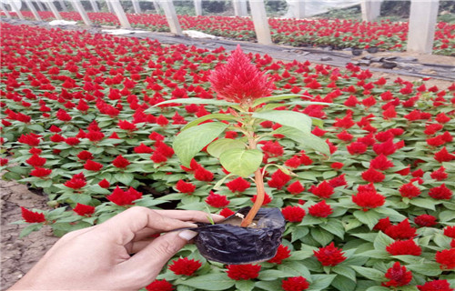 甘肃省临夏多年生花卉